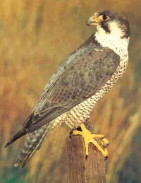 Peregrine falcons in the Royal Forest of Dean